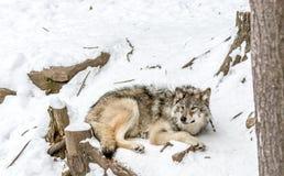 Kalme en vreedzame bruine wolf in een sneeuwlandschap stock foto's