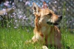Kalme Hond Royalty-vrije Stock Afbeeldingen