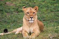 Kalme leeuwin Royalty-vrije Stock Foto's