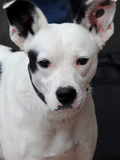 Kalme Zwart-witte Hond Royalty-vrije Stock Fotografie