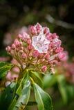 Kalmia Latifolia Mountain Laurel Cluster Royalty Free Stock Images