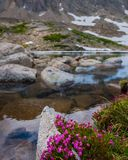 Kalmia microphylla alpine Lorbeerblumen stockfotos