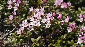 Kalmia procumbens Royalty Free Stock Photography