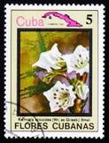 Kalmiella aricoides και χάρτης της Κούβας, serie λουλούδια της Κούβας, circ Στοκ φωτογραφία με δικαίωμα ελεύθερης χρήσης