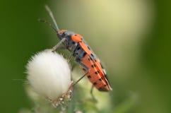 Kalmii di Lygaeus - piccolo insetto del milkweed Fotografia Stock