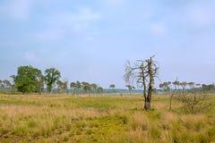Kalmthout hed som återställer från en brand, med brända trädstammar och nya träd på en molnig disig dag arkivbild