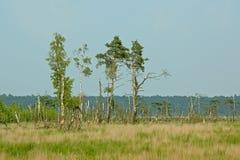Kalmthout hed som recvering från en brand, med döda och nya träd på en molnig disig dag arkivbild