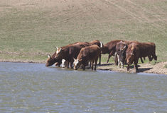 Kalmyk breed bulls on watering. Royalty Free Stock Photography
