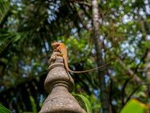 Kaloth bloodsucker (Calotes versicolor). Lizard Kaloth bloodsucker (Calotes versicolor) sitting on a stone pillar Stock Photography