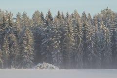 Kalte Winterlandschaft mit hohen eisigen hohen Bäumen stockfotografie