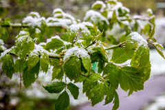 Kalter Frühling 2017 in Weißrussland, fiel Schnee im Mai Lizenzfreies Stockbild