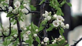Kalter Frühlingsnassschnee, der auf die Birnenbaumblüte fällt stock video