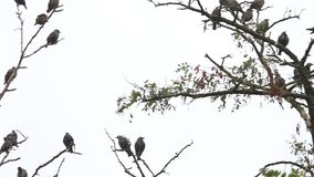 Kalter Morgen der Stare sitzen auf den trockenen Niederlassungen stock video footage
