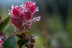 Kalter Morgentau auf einem rosa Wildflower, Gebirgsblume stockfotografie