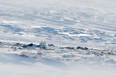 Kalter Winter in Norwegen, Vogel versteckt im Lebensraum Schaukeln Sie Alpenschneehuhn, Lagopus mutus, der weiße Vogel, der auf d stockfotografie