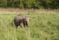 Kalv av den asiatiska elefanten Royaltyfri Bild