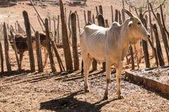Kalv av nötkreatur i torr lantgård arkivfoton
