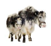 kalv henne yak Arkivfoton