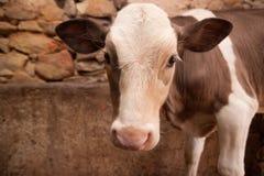 Kalv i en ladugård Arkivfoton