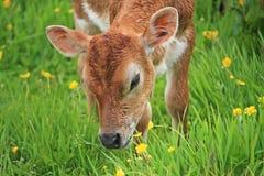 Kalv i ett fält Arkivfoton