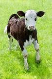 kalv little ängstående Royaltyfri Bild
