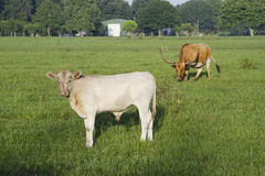 Kalv- och longhornko Royaltyfri Fotografi