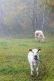 Kalv på en dimmig äng Arkivfoton