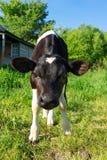 Kalv på gräs Fotografering för Bildbyråer