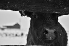 Kalv på snöig lantgård Fotografering för Bildbyråer