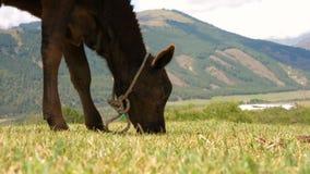 Kalv som betar på sommaräng och äter gräs i bergdalen arkivfilmer