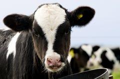 kalv som little äter Fotografering för Bildbyråer