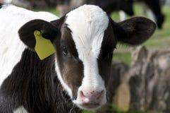 kalv som little äter Arkivbild
