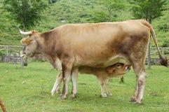 Kalv som matar från en ko Royaltyfri Foto