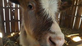 Kalv som ser kameran Royaltyfri Bild
