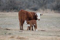 Kalv som vårdar Hereford arkivfoton