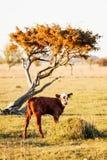 Kalv vid ett träd i Ã-land Sverige Arkivfoton
