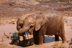 kalvar elefanten Arkivbild