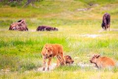 kalvar för amerikansk bison Fotografering för Bildbyråer