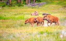 kalvar för amerikansk bison Royaltyfri Foto