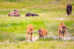 kalvar för amerikansk bison Royaltyfri Bild