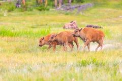 kalvar för amerikansk bison Royaltyfria Bilder