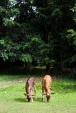 Kalven äter gräs arkivbilder