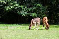 Kalven äter gräs fotografering för bildbyråer