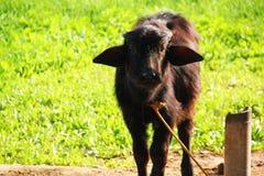 Kalven behandla som ett barn buffeldjuret som ser nära upp royaltyfri fotografi