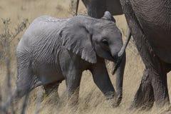 Kalven för den afrikanska elefanten rymmer moderns svans i Etosha Arkivfoton