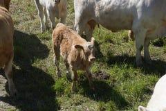 Kalven i gräsplan betar royaltyfri bild