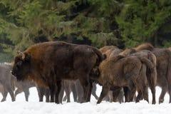 Kalven och modern av den lösa bonasusen för bisonen för europébruntbisonen i vinterpinjeskogkvinnlig av den vuxna aurochswisenten royaltyfria foton