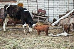 Kalven och svinet arkivfoto
