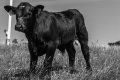 Kalven på betar i Hammarsbackar i sydliga Sverige Arkivbild