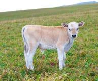 Kalven på en sommar betar. Arkivfoto